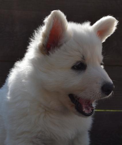 weißer schäferhund züchter