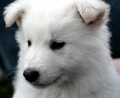 Die Geschichte Des Weissen Schaferhundes Der Weissen Schaferhunde Weisse Schaferhund Welpen Der Weisse Schaferhund