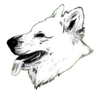 Weisse Schaferhunde Weisser Schaferhund Weisser Schweizer Schaferhund Kaufen Weisse Schaferhundwelpen Zuchter Weisser Schaferhund Zucht Deckrude Weisser Schaferhundwelpe Welpen Weisser Schweizer Schaferhunde Weiss Weiser Schaferhund Welpe